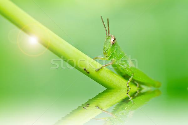 Sauterelle vert nature jardin alimentaire couleur Photo stock © sweetcrisis