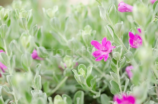 Rózsaszín virág kert természet park Thaiföld levél Stock fotó © sweetcrisis