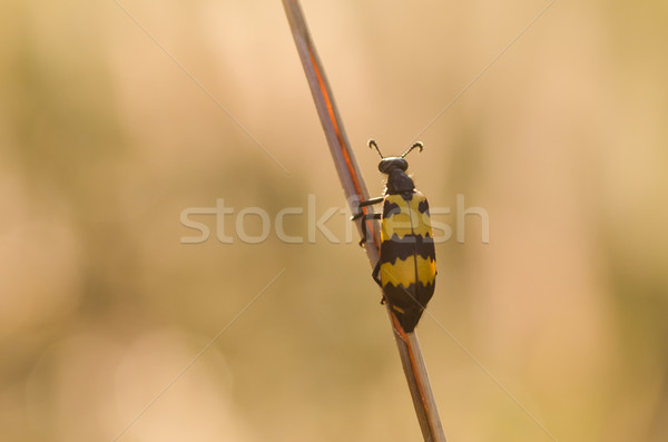Noir jaune ponderosa nature insecte macro Photo stock © sweetcrisis