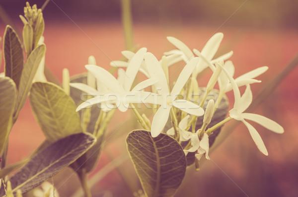 Witte bloem vintage tuin natuur park Thailand Stockfoto © sweetcrisis