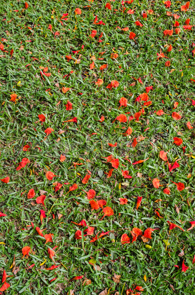 Red flower on grass Stock photo © sweetcrisis
