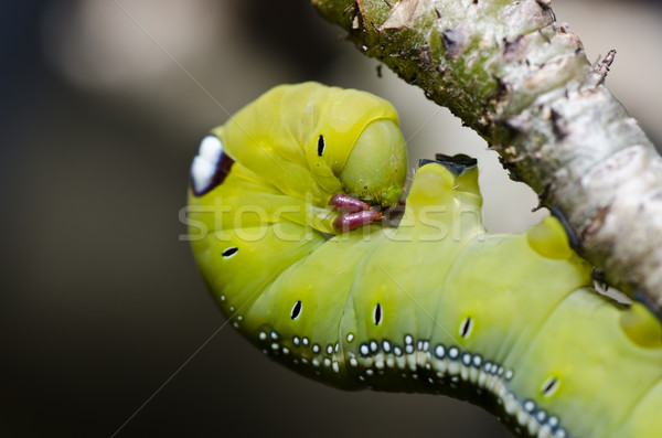 Verme verde natureza jardim comida abelha Foto stock © sweetcrisis