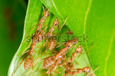 Piros hangya zöld természet munkás Stock fotó © sweetcrisis