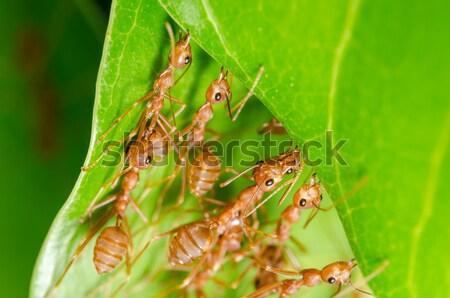 Rouge fourmi vert nature travailleur Photo stock © sweetcrisis