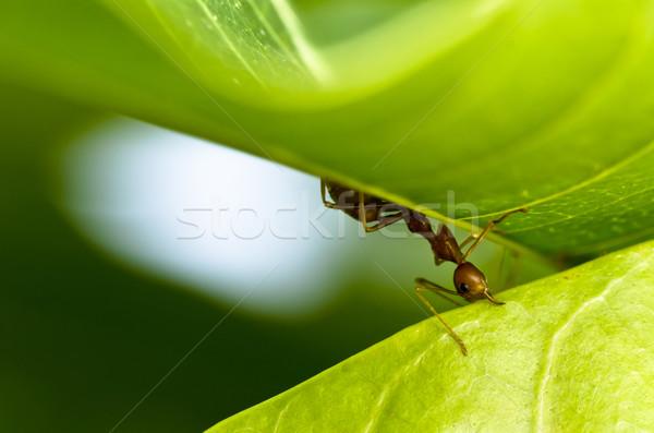 красный муравей мощный зеленый природы работник Сток-фото © sweetcrisis