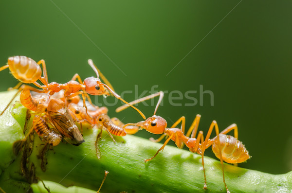 Red ant and aphid on the leaf Stock photo © sweetcrisis