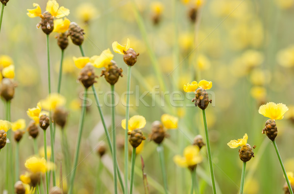 Flores amarelas Tailândia grama natureza jardim Foto stock © sweetcrisis
