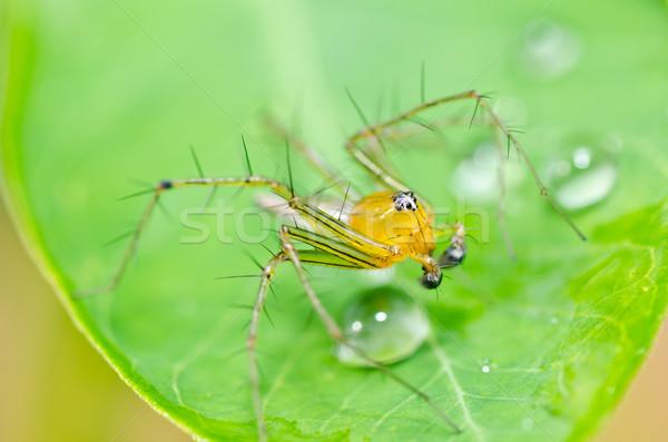 Longues jambes araignée vert nature gouttes d'eau jardin Photo stock © sweetcrisis