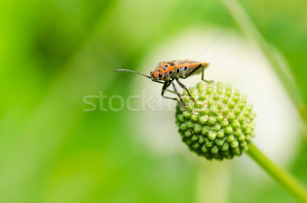 Vermelho bicho natureza sol campo animal Foto stock © sweetcrisis