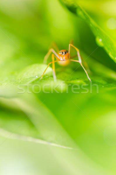 Ant mimic spider Stock photo © sweetcrisis