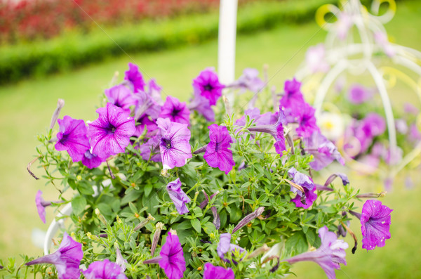 Violet Petunia or Petunia Hybrida Vilm Stock photo © sweetcrisis