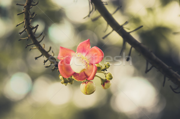 Bala de canhão flor vintage verde jardim natureza Foto stock © sweetcrisis