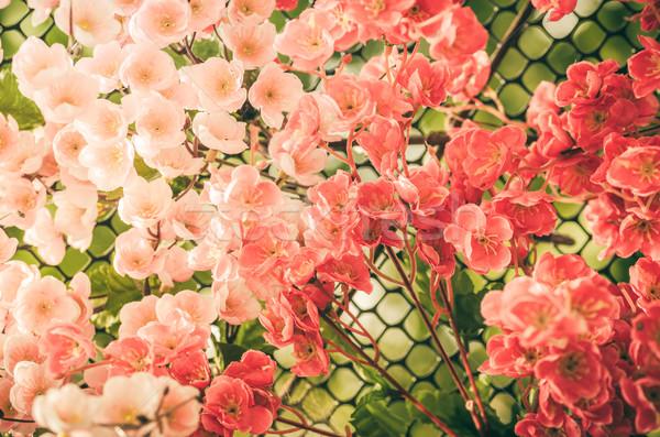 Piros virág klasszikus virágoskert természet park Stock fotó © sweetcrisis