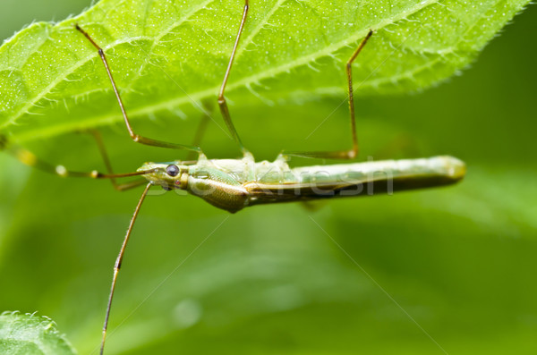 Stock photo: daddy-long-legs in green nature