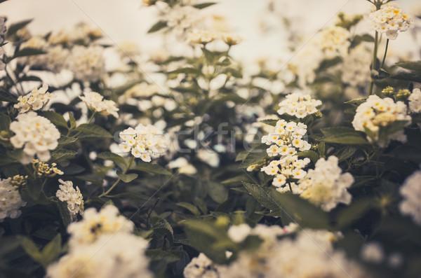 Szałwia tkaniny złota vintage kwiat ogród Zdjęcia stock © sweetcrisis
