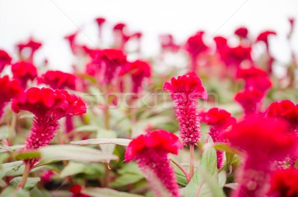 Vermelho lã flores flor jardim de flores natureza Foto stock © sweetcrisis