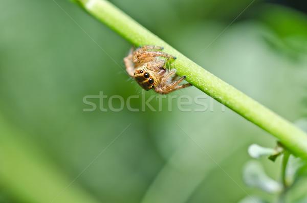 Foto stock: Saltando · aranha · verde · natureza · floresta · primavera