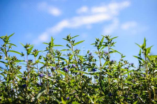 Zielona trawa charakter niebo liści ogród zielone Zdjęcia stock © sweetcrisis