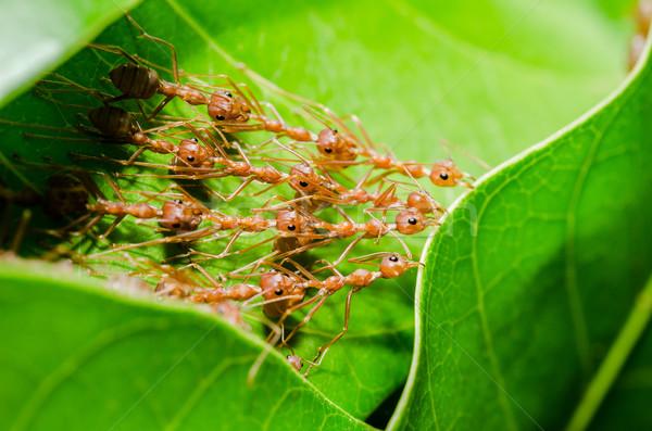 Rosso formiche costruire home lavoro di squadra potere Foto d'archivio © sweetcrisis