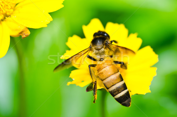 bee and Little yellow star flower  in green nature Stock photo © sweetcrisis