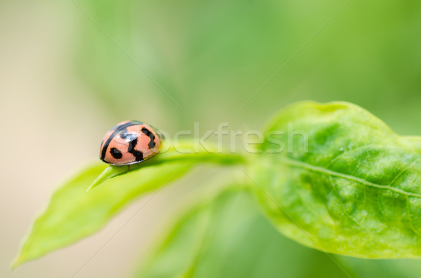 Coccinelle macro vert nature jardin printemps Photo stock © sweetcrisis