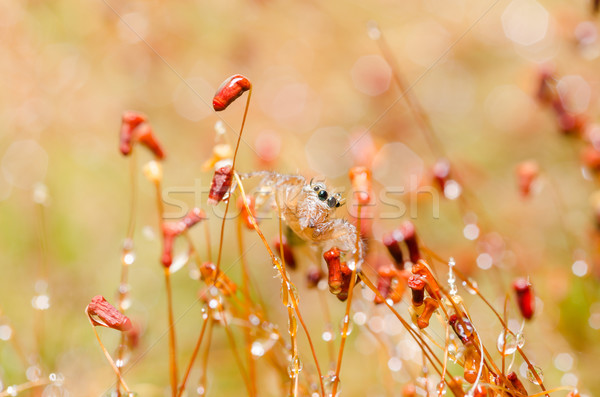 jumping spider in green nature Stock photo © sweetcrisis