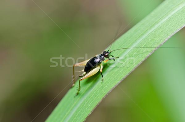 Insecte cricket vert nature ferme Photo stock © sweetcrisis