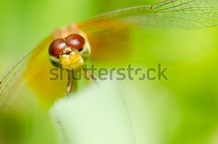 dragonfly in garden Stock photo © sweetcrisis