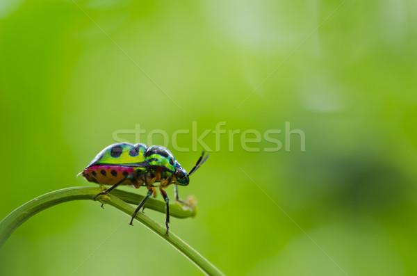 Jewel жук зеленый природы саду красоту Сток-фото © sweetcrisis