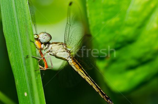 Libellule jardin vert nature belle insecte Photo stock © sweetcrisis