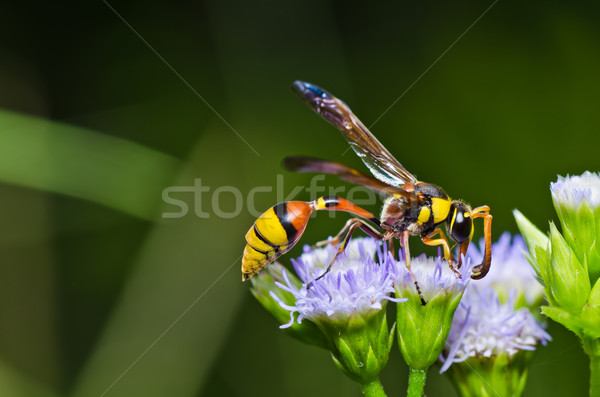yellow wasp in green nature or in garden Stock photo © sweetcrisis
