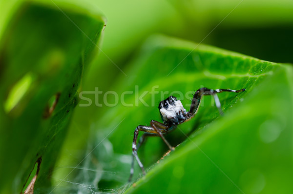 jumping spider macro in green nature Stock photo © sweetcrisis