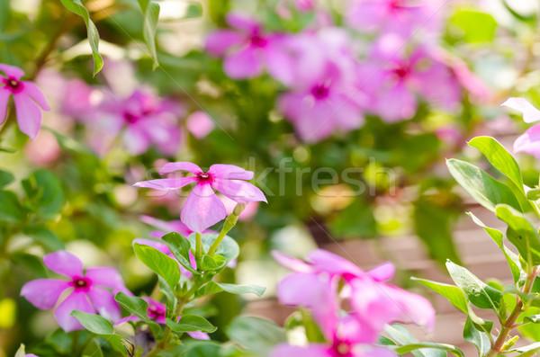 Catharanthus roseus or Periwinkle Stock photo © sweetcrisis