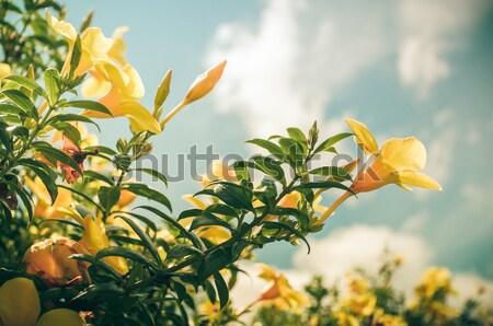Arany trombita virág klasszikus kert természet Stock fotó © sweetcrisis