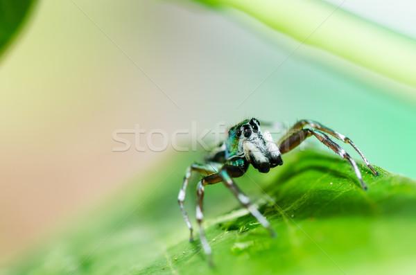 Foto stock: Saltando · aranha · verde · natureza · jardim · verão