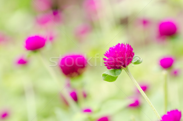 Globe Amaranth or Bachelor Button flower Stock photo © sweetcrisis