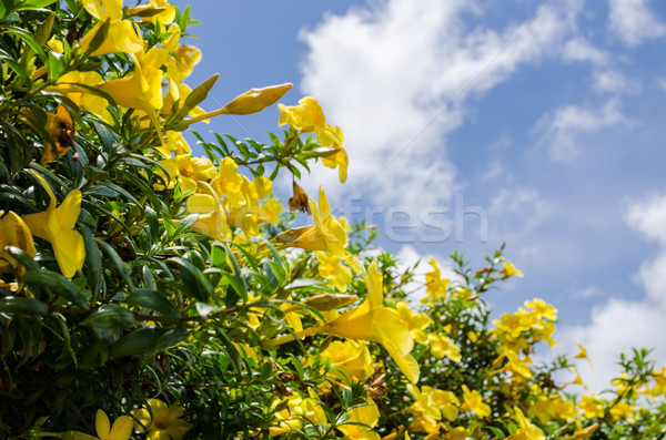 Golden Trumpet flower or Allamanda cathartica Stock photo © sweetcrisis