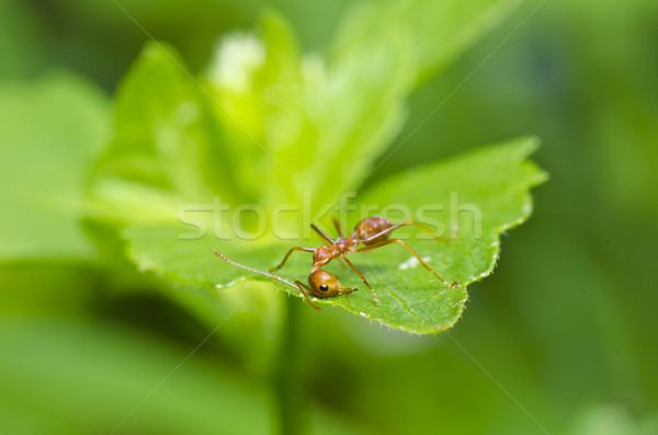 red ant broken heart Stock photo © sweetcrisis