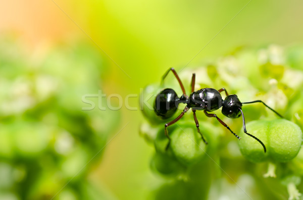 Stock photo: black ant in green nature