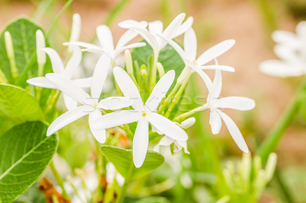 Flor blanca jardín naturaleza parque Tailandia primavera Foto stock © sweetcrisis