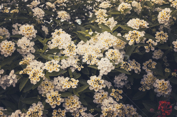 Sauvage sauge drap or vintage jardin de fleurs Photo stock © sweetcrisis