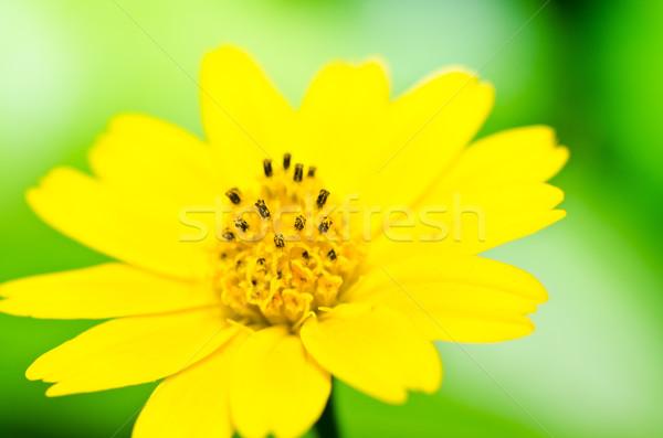 黄色 星 緑 自然 春 ストックフォト © sweetcrisis