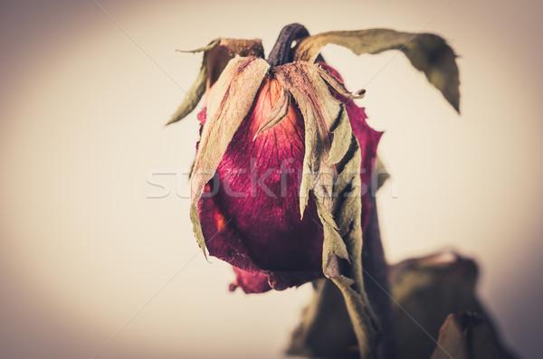 Rózsa virág klasszikus virágoskert természet szeretet Stock fotó © sweetcrisis