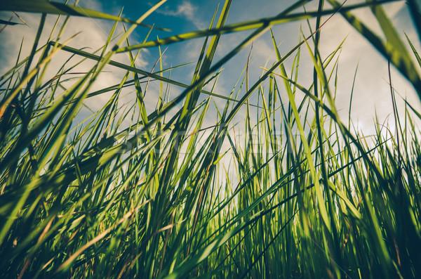 Grama verde vintage prado campo arrozal Tailândia Foto stock © sweetcrisis