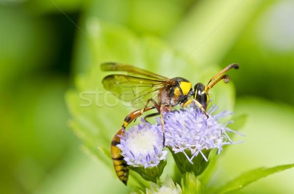 Amarelo vespa verde natureza jardim ouro Foto stock © sweetcrisis