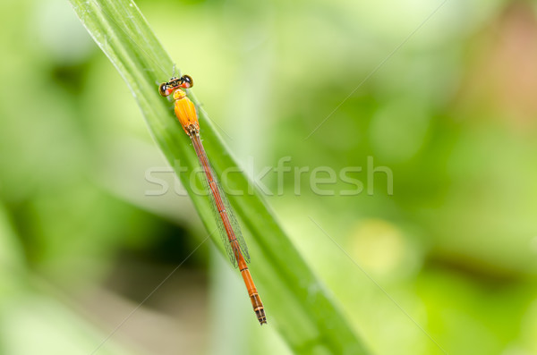 Stock photo: red dragonfly in green nature