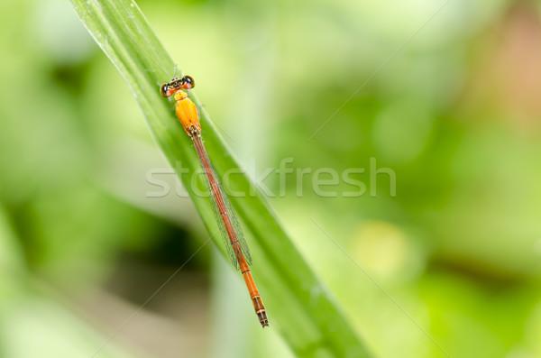 赤 トンボ 緑 自然 庭園 春 ストックフォト © sweetcrisis