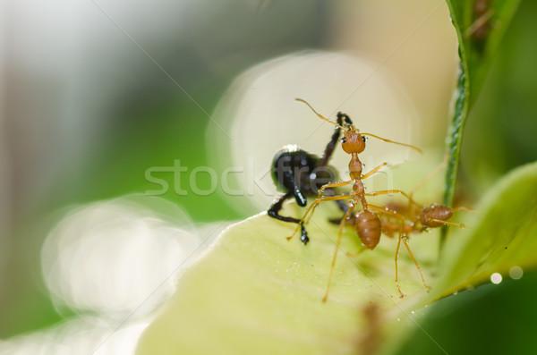 Piros hangya csapatmunka zöld természet kert Stock fotó © sweetcrisis