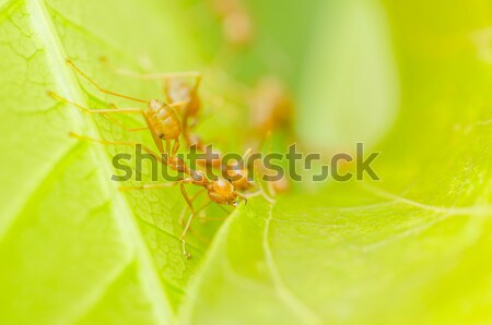 red ant on the leaf Stock photo © sweetcrisis