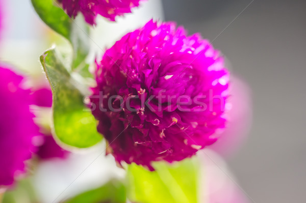 Сток-фото: мира · бакалавр · кнопки · цветок · макроса